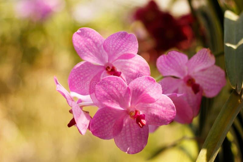 桃红色美丽的兰花在庭院里 库存图片