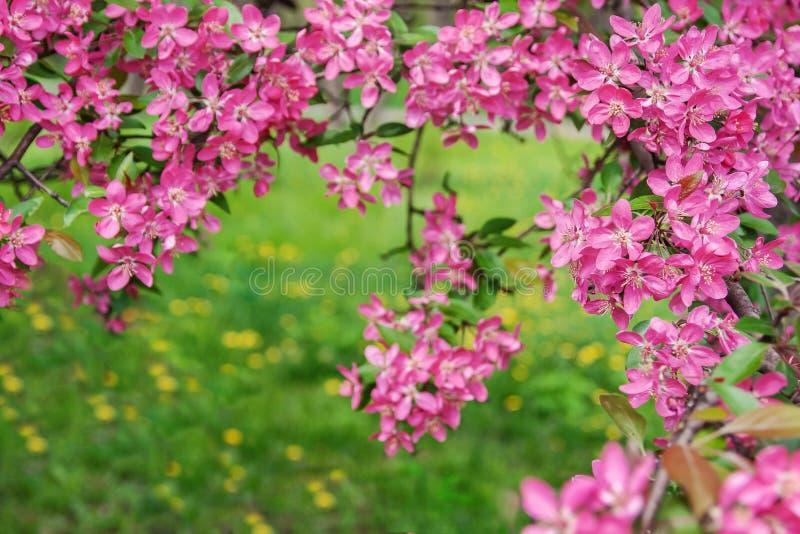 桃紅色美麗的樹開花天堂在背景的蘋果樹. 公園, 本質.圖片