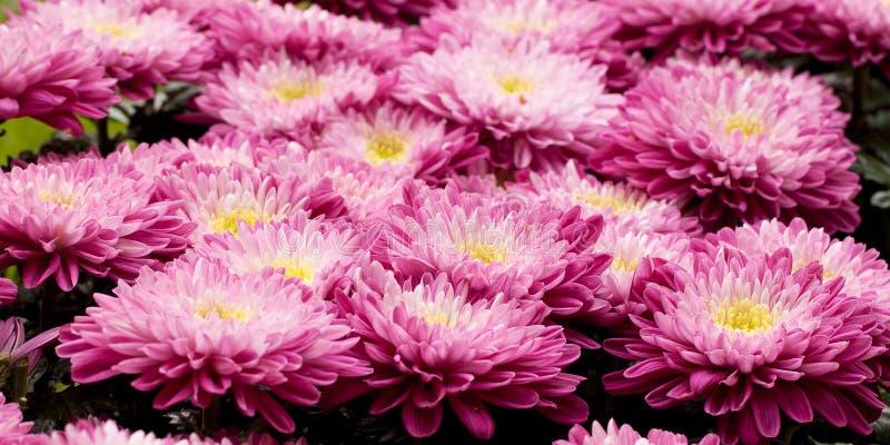 桃红色美丽的翠菊 库存图片