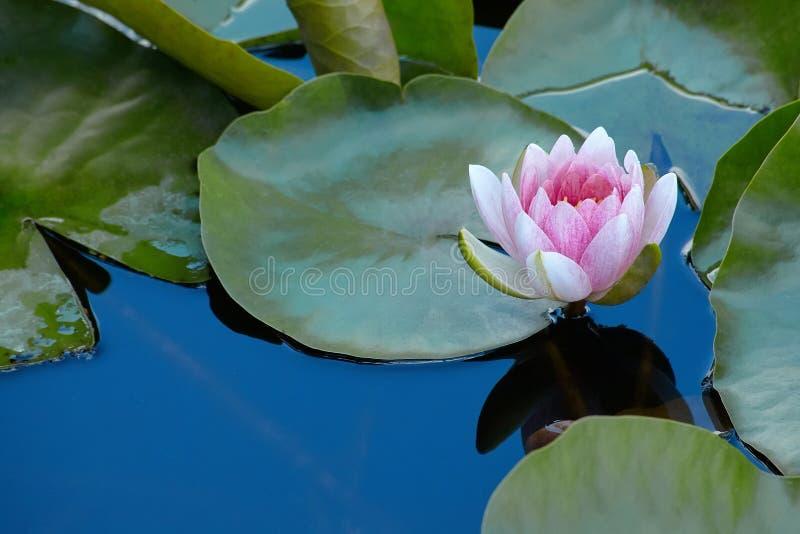 桃红色美丽的荷花或莲花Marliacea Rosea,waterlily桃红色花 星莲属的瓣是被反射的alo 库存照片