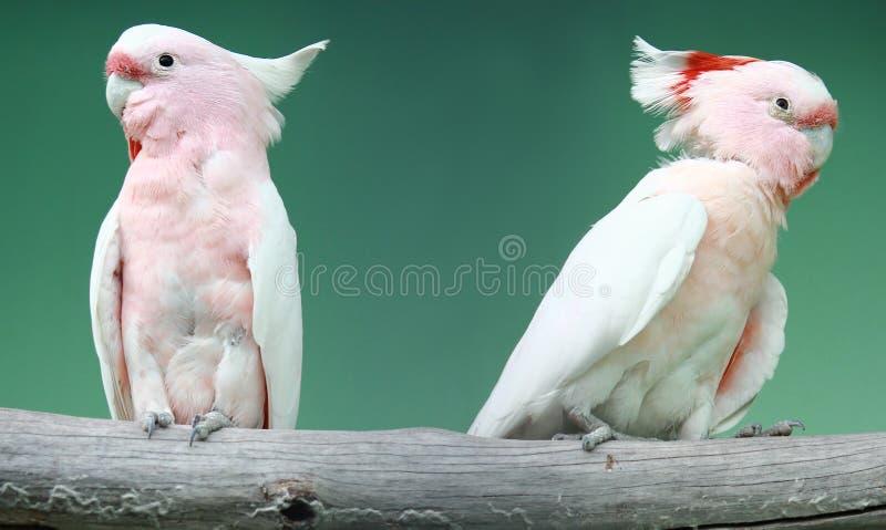 桃红色美冠鹦鹉鸟 免版税库存照片