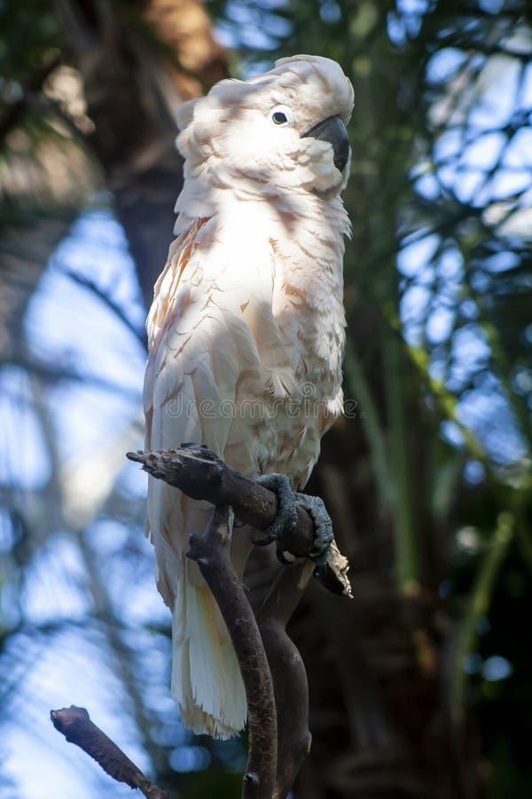 桃红色美冠鹦鹉 库存图片