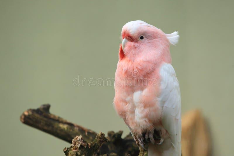 桃红色美冠鹦鹉 免版税库存照片