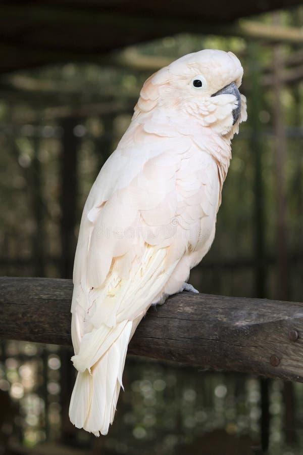 桃红色美冠鹦鹉 免版税图库摄影
