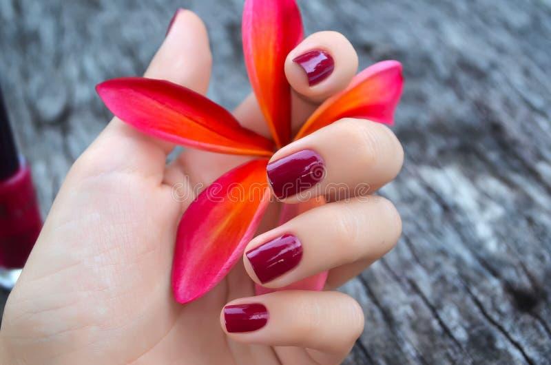 桃红色羽毛花在有美好的修指甲的女性手上 图库摄影