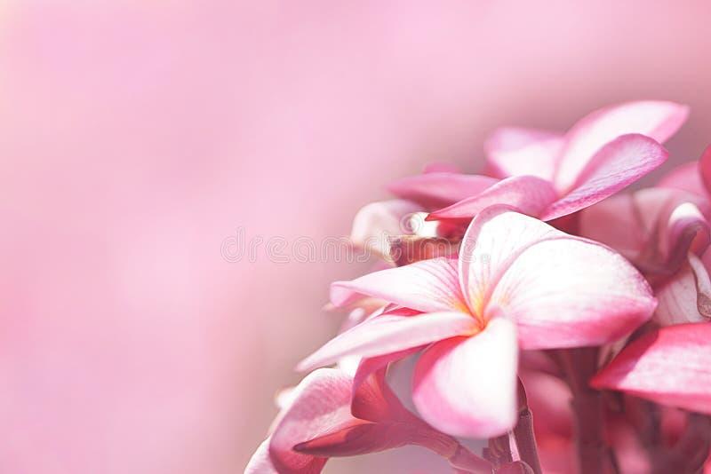 桃红色羽毛花束在pictu的右边开花 库存图片