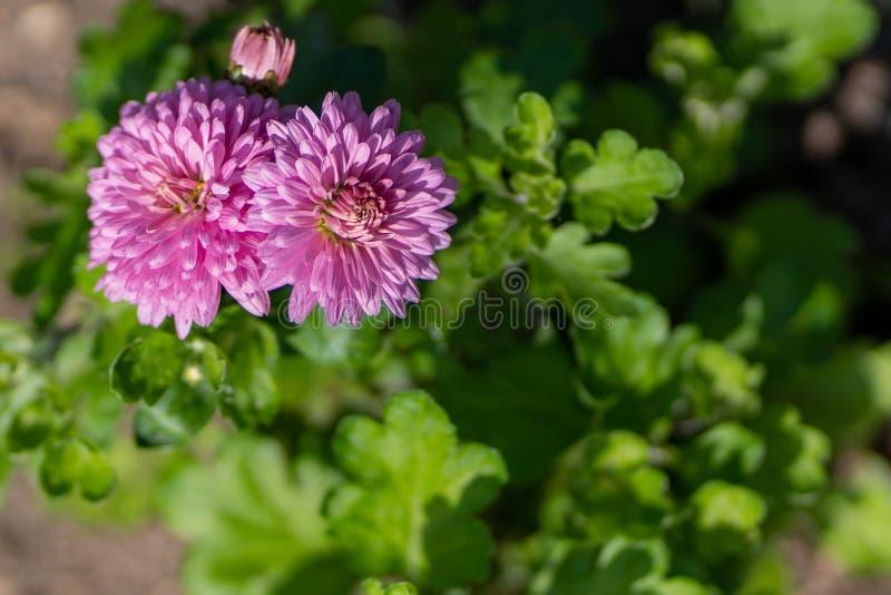桃红色翠菊照片在关闭的庭院里 免版税图库摄影