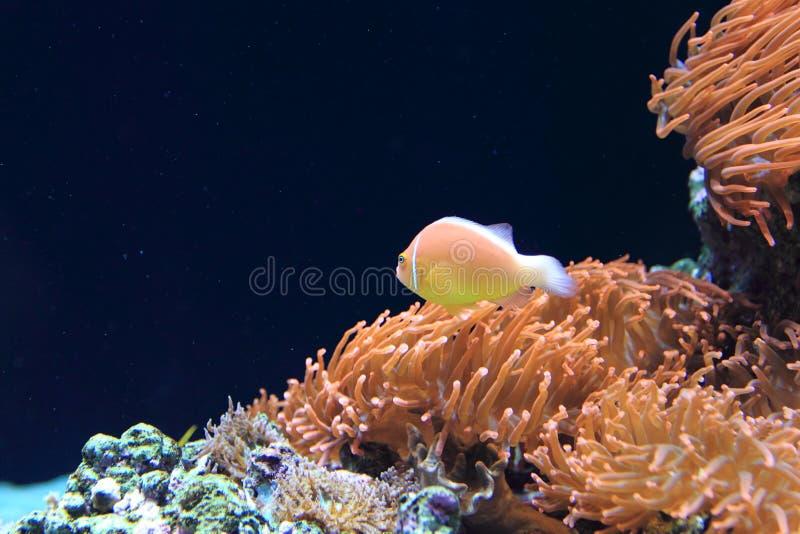 桃红色臭鼬anemonefish 免版税库存图片