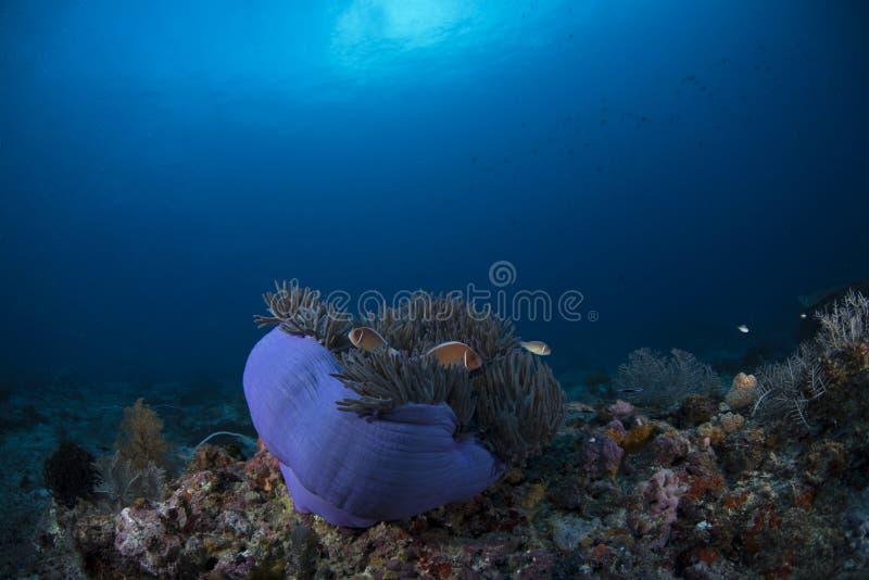桃红色臭鼬Clownfish双锯鱼Perideraion有蓝色背景 图库摄影