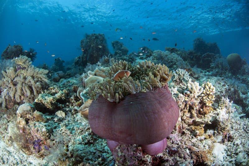 桃红色臭鼬Clownfish双锯鱼perideraion 免版税库存图片