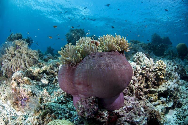 桃红色臭鼬Clownfish双锯鱼perideraion 库存图片