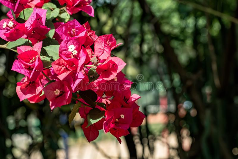 桃红色花九重葛花束在轻的dol下的在黎明在庭院里 库存照片