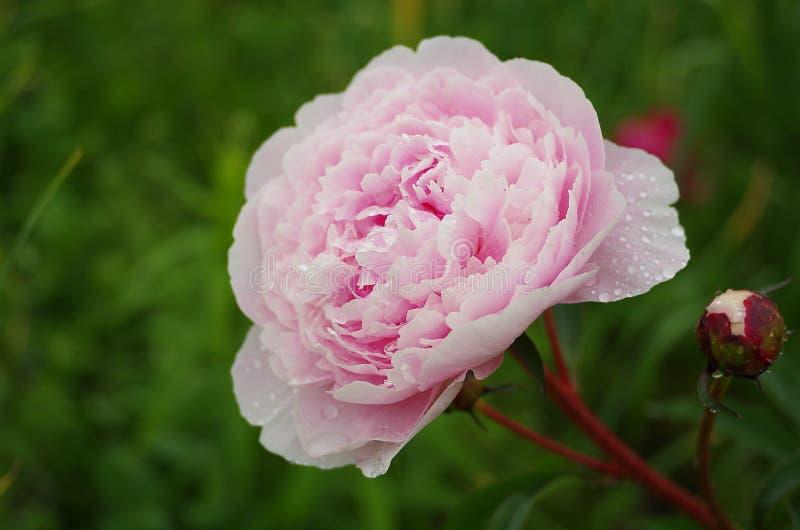 桃红色花关闭在庭院里 免版税库存照片