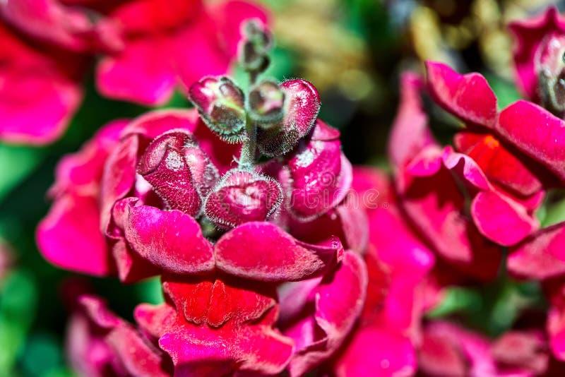 桃红色花卉生长在花圃里 免版税库存图片