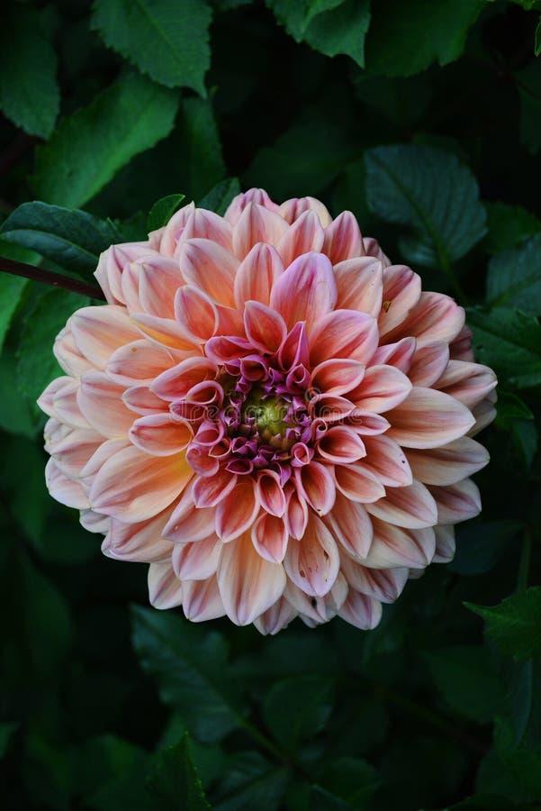 桃红色花在一下雨天 库存图片