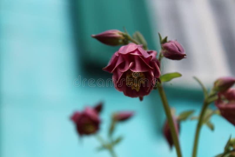 桃红色花在一个土气庭院里 夏天开花 花开了花 夏天芳香 免版税库存图片