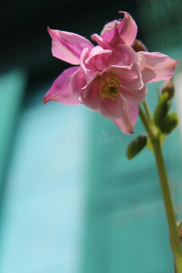 桃红色花在一个土气庭院里 夏天开花 花开了花 库存图片