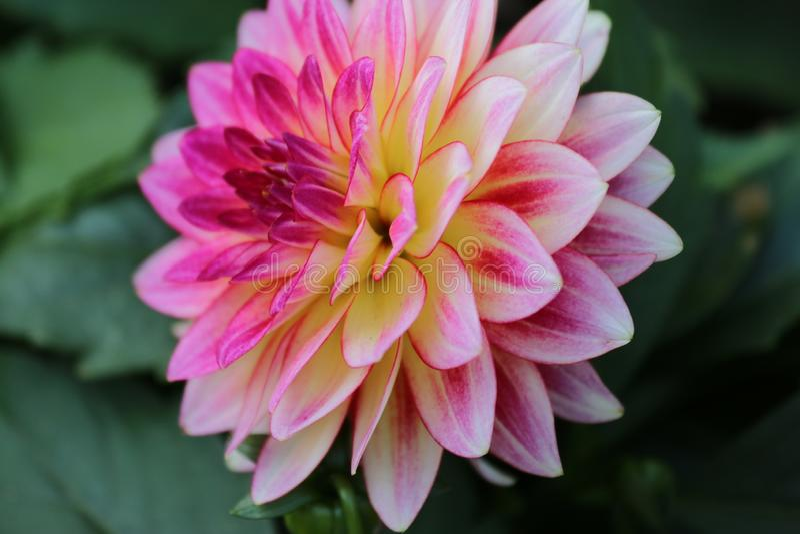 桃红色花在庭院里在香港 库存图片