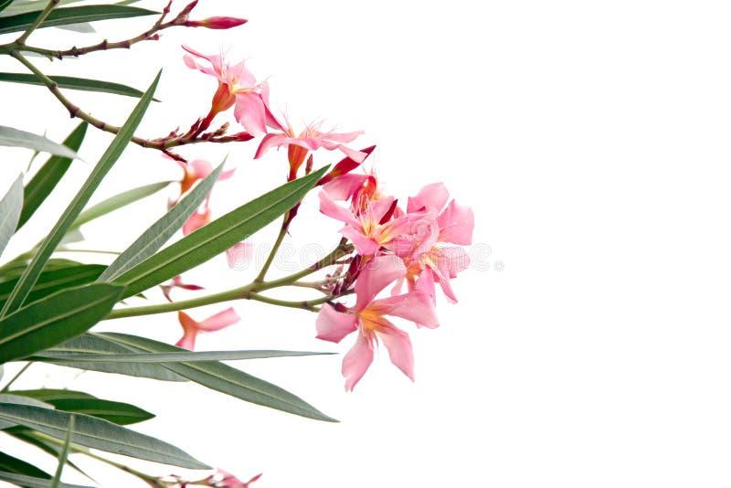 桃红色花在白色背景的庭院里。 库存图片