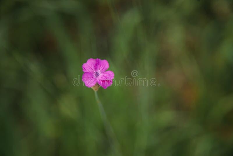 桃红色花在bokeh背景中 免版税图库摄影