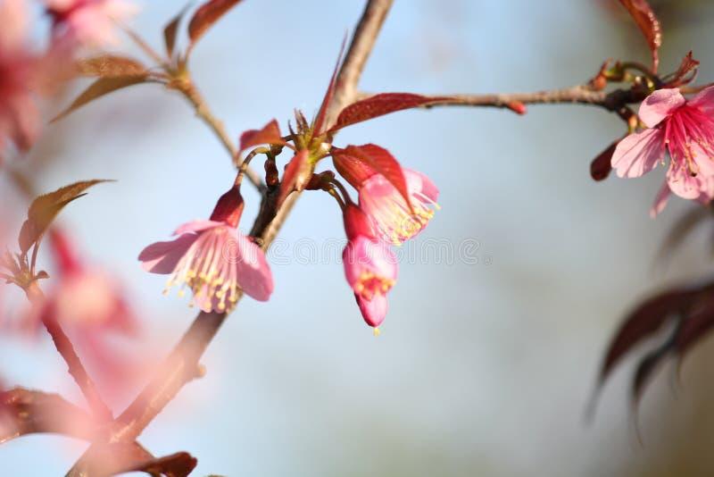 桃红色花开花 免版税库存图片