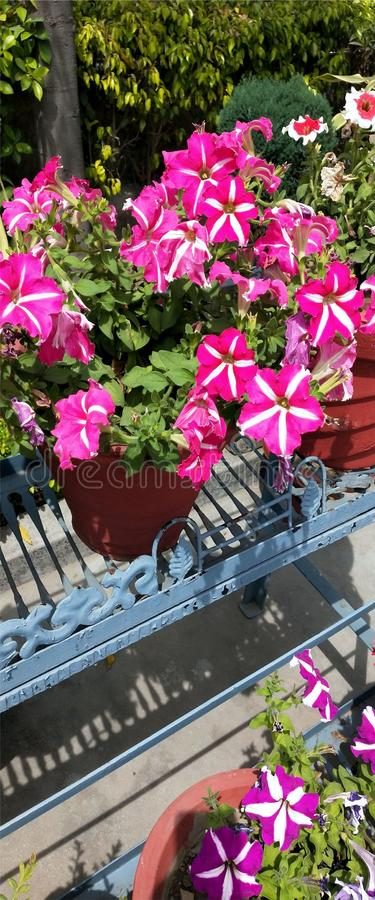 桃红色花拍摄红白的花 美丽的花有绿色背景 皇族释放例证
