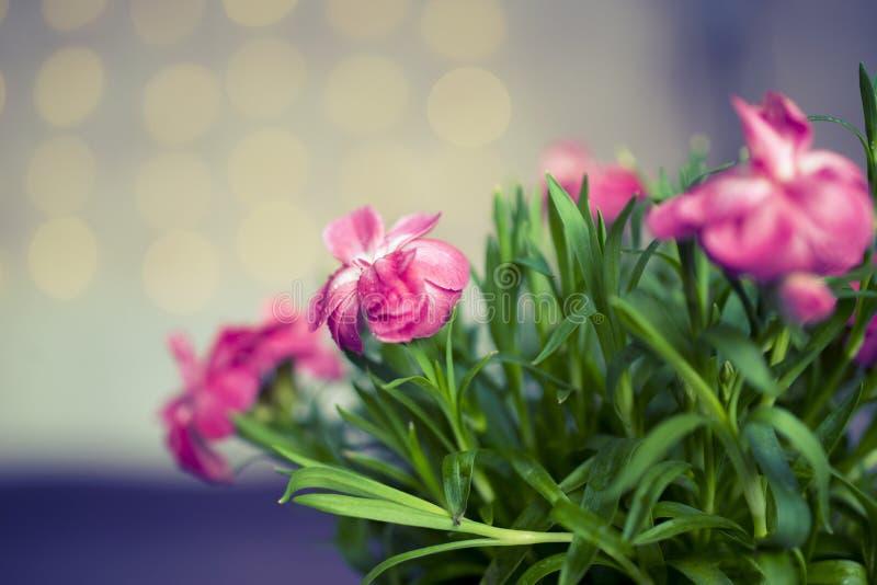 桃红色花有桃红色bokeh背景 库存照片