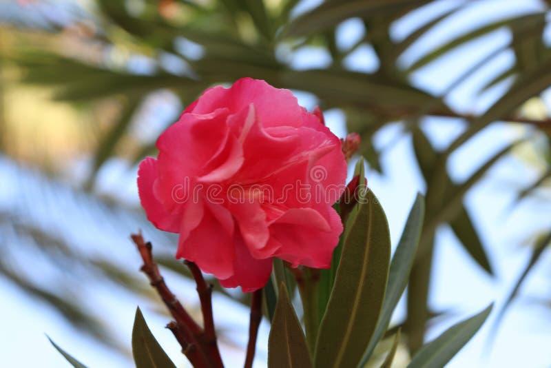 桃红色花有被弄脏的叶子背景 免版税库存照片