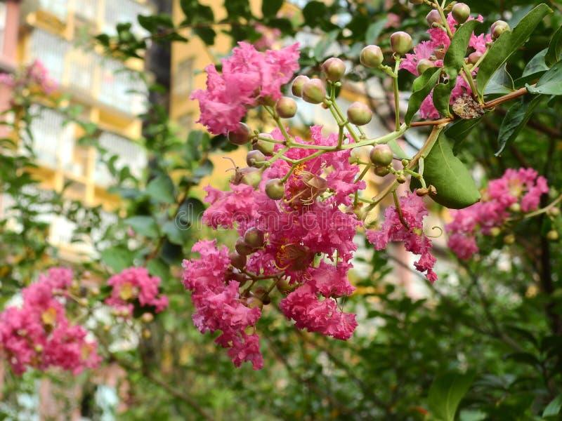 桃红色花植物紫薇 免版税库存图片