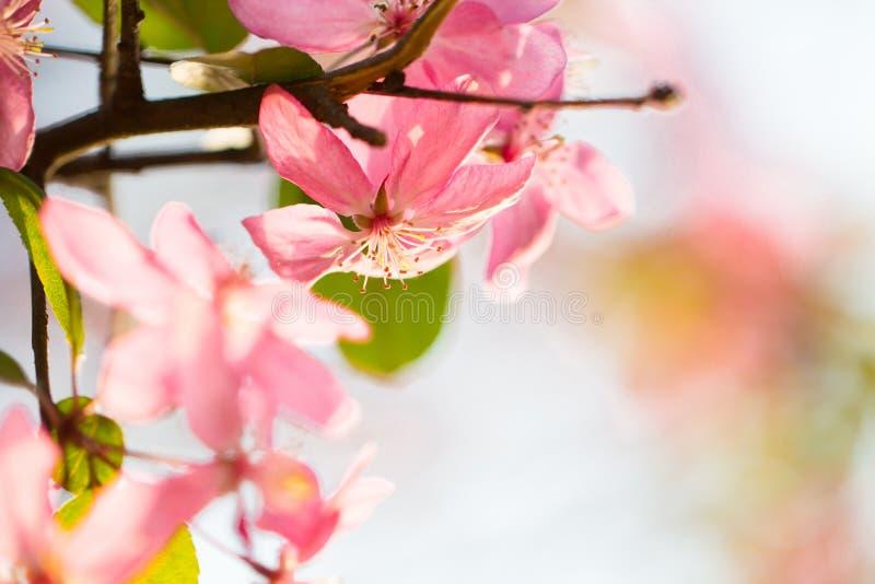 桃红色花樱桃树分支开花 库存照片