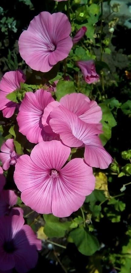 桃红色花特写镜头在绿色叶子背景的  以留声机的形式美丽的花 库存照片