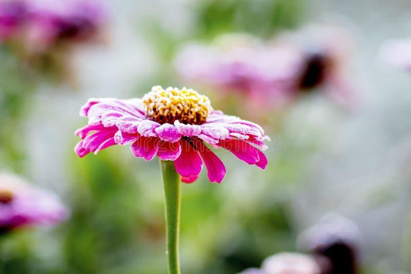桃红色花百日菊属在第一霜期间的庭院里,霜o 库存照片
