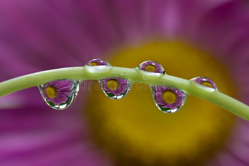 桃红色花的反射在露滴的 水滴在一个稀薄的绿色词根特写镜头宏指令的 柔和的浪漫春天 免版税库存图片