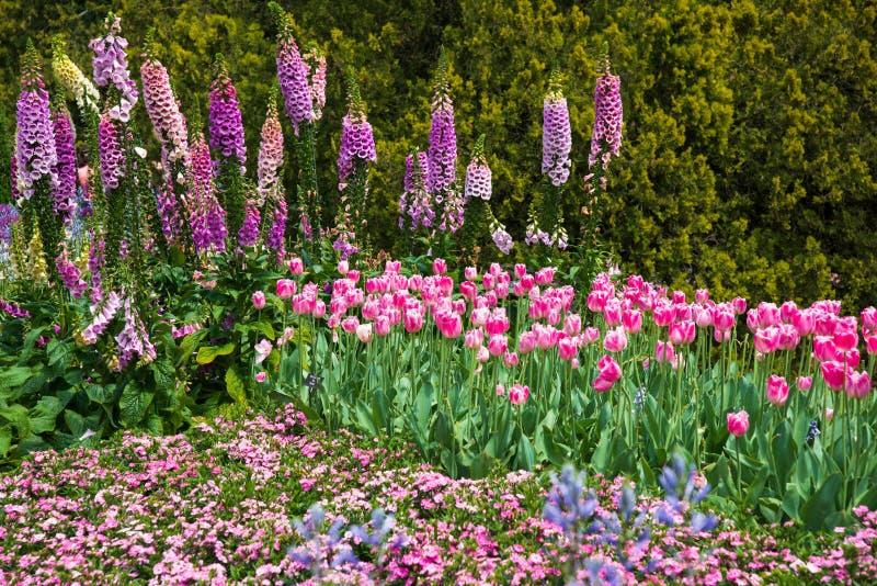 桃红色花的开花的领域与毛地黄属植物和郁金香的 库存照片