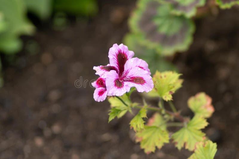 桃红色花的照片在自然本底的 库存图片