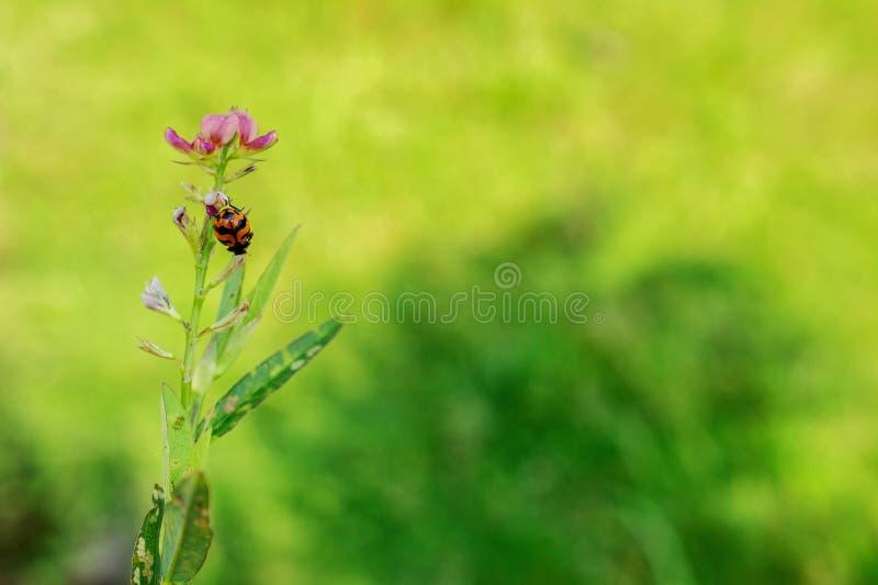 桃红色花的Bug夫人 免版税库存照片