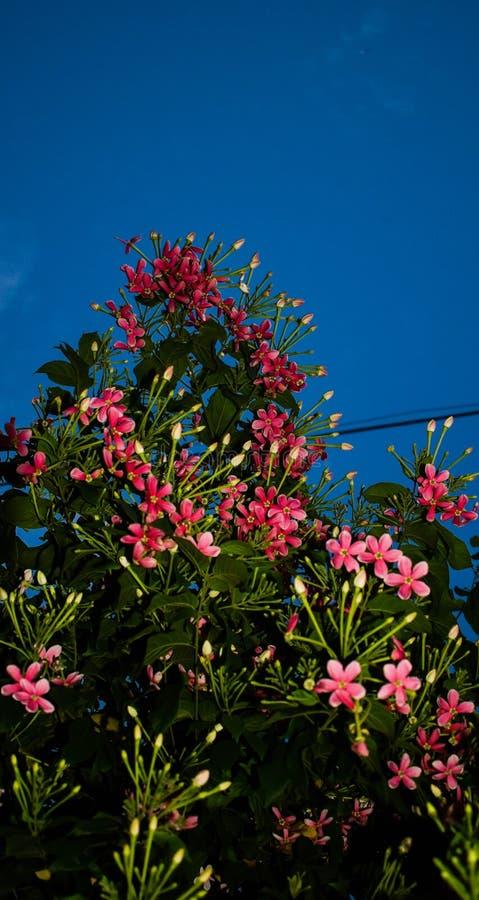 桃红色花看法有天空背景在查谟,印度 免版税库存图片