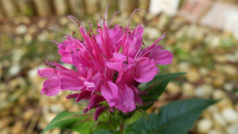 桃红色花绽放在庭院里 库存照片