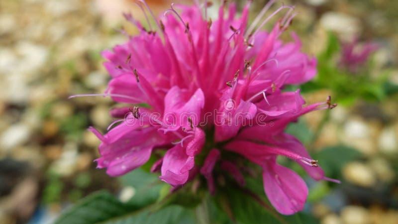 桃红色花绽放在庭院里 库存图片