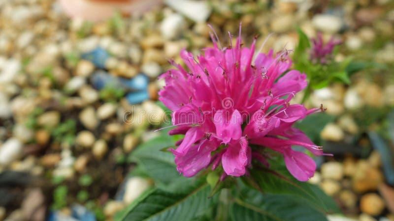 桃红色花绽放在庭院里 图库摄影