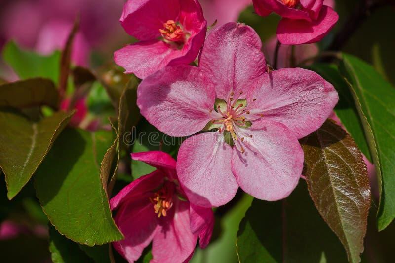 桃红色花苹果树 库存照片