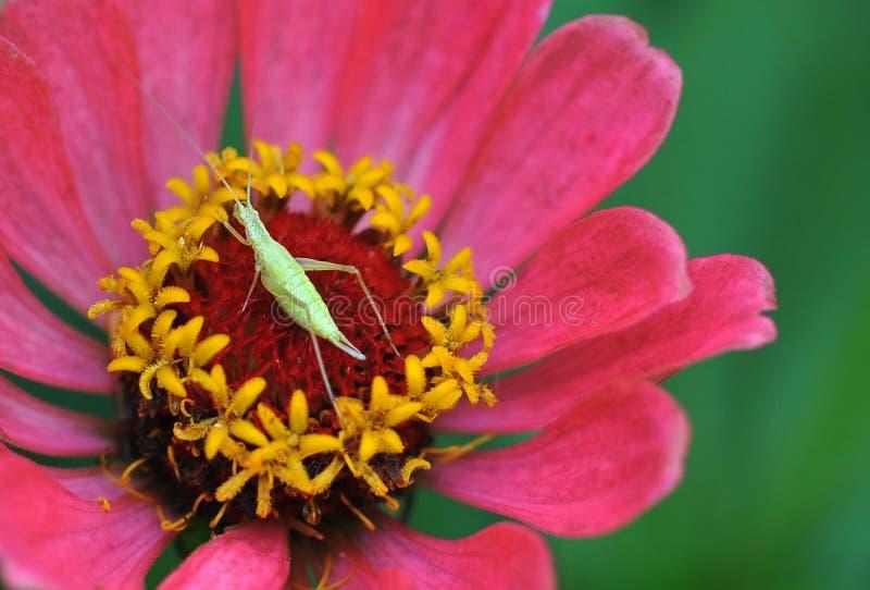 桃红色花讽世者宏观照片  夏天美丽的花 免版税库存图片
