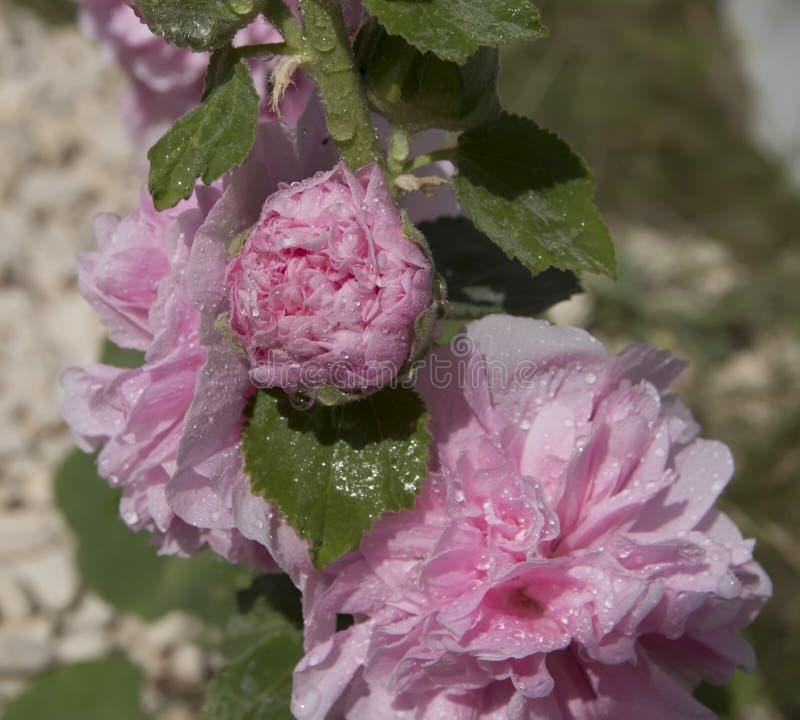桃红色花,与芽,在模糊的背景 免版税库存照片