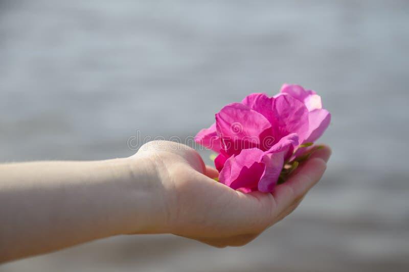 桃红色花,在一柔和的child& x27的芽;s手 库存图片