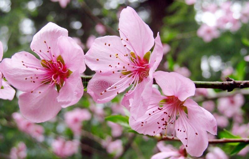 桃红色花,在开花的苹果树 库存照片