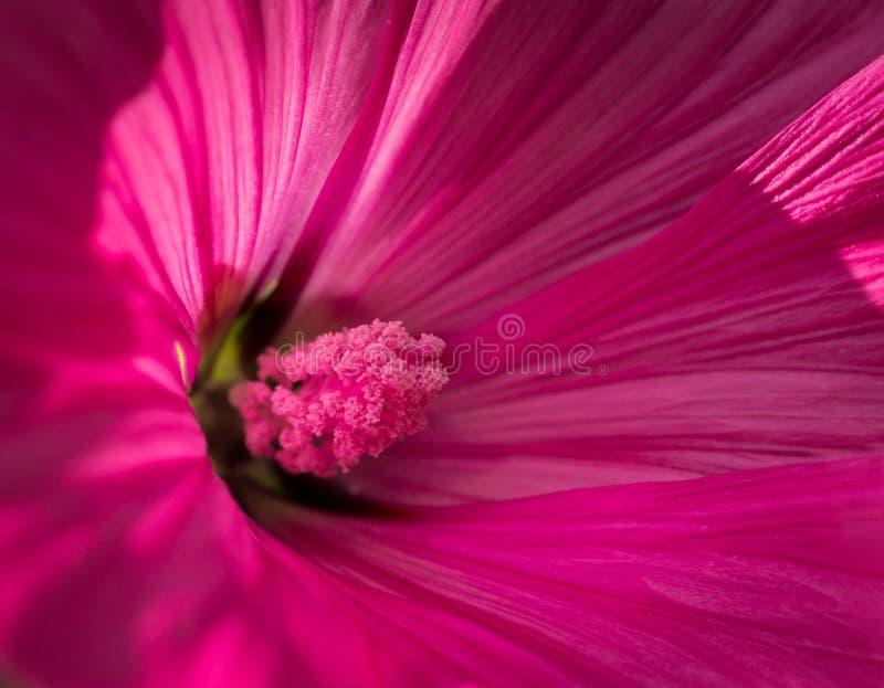 桃红色花,特写镜头宏指令 免版税库存图片