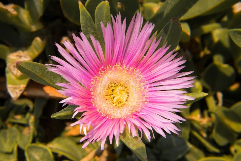 桃红色花,细节 免版税库存照片