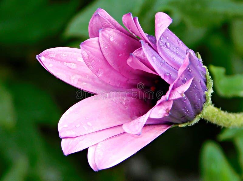桃红色花,水滴 库存图片
