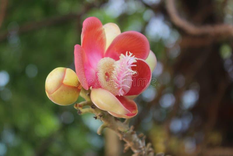桃红色花 在自然背景的桃红色花 免版税库存照片