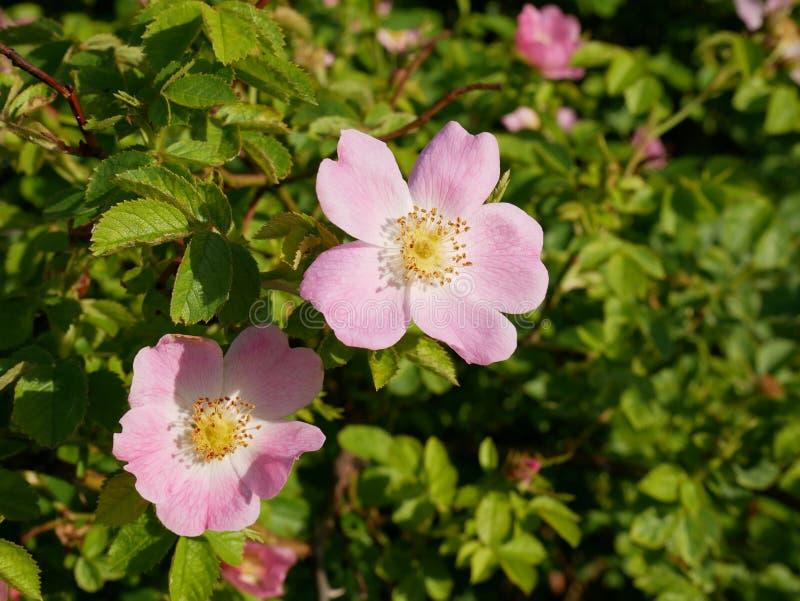 桃红色花 桃红色狂放玫瑰色或狗玫瑰开花与叶子 库存照片
